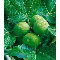 BCM Obstpflanze Feigenbaum, grün