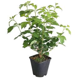BCM Obstpflanze Erdbeere, Lieferhöhe ca. 40 cm, 1 Pflanze