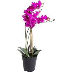 Kunstorchidee Orchidee Bora Orchidee, Botanic-Haus, Höhe 60 cm