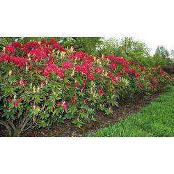 BCM Hecken Rhododendron Nova Zembla, Höhe: 40 cm, 2 Pflanzen