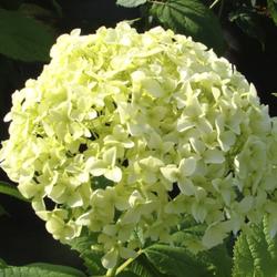 Waldhortensie Hydrangea arborescens. Annabelle (Proven Winners) - 12 L Topf 80-100 cm