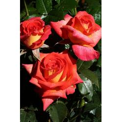 BCM Beetpflanze Rose Parfum De Grasse, Höhe 30 cm, 3 Pflanzen