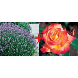 BCM Beetpflanze Rose Rumba & Lavendel, (Set) bunt Beetpflanzen Pflanzen Garten Balkon