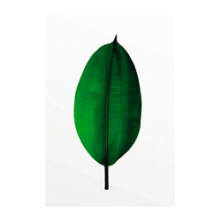 Komar Poster Ficus Leaf, Pflanzen, Blätter, Höhe: 50cm 30 cm x 40 cm