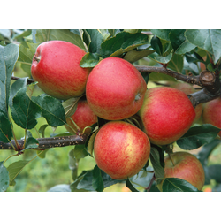 BCM Obstpflanze Apfel Gala, 100 cm Lieferhöhe gelb Obst Pflanzen Garten Balkon