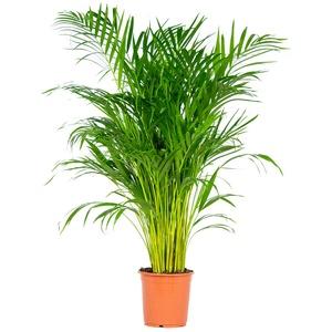 Dypsis | Areca-Palme pro Stück - Zimmerpflanze im Aufzuchttopf cm21 cm - 100-110 cm