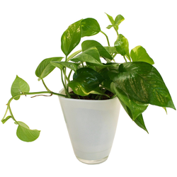 Dominik Zimmerpflanze Efeutute, Höhe: 30 cm, 1 Pflanze im Dekotopf