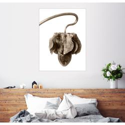 Posterlounge Wandbild, Rankende Cobea, Glockenrebe 70 cm x 90 cm