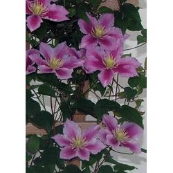 BCM Beetpflanze Clematis Piilu, 2 Pflanzen