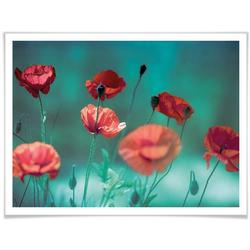 Wall-Art Poster Mohn Aquamarin, Pflanzen (1 Stück) 60 cm x 50 cm x 0,1 cm