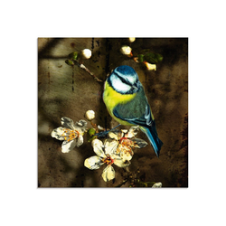 Artland Glasbild Blaumeise auf Kirschzweig, Vögel (1 Stück) 40 cm x 40 cm x 1,1 cm
