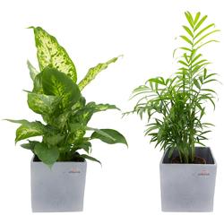 Dominik Zimmerpflanze Grünpflanzen-Set, Höhe: 30 cm, 2 Pflanzen in Dekotöpfen