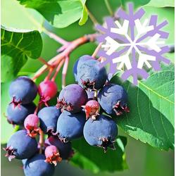 BCM Gehölze Felsenbirne grandiflora 'Western June Berry' Spar-Set, Lieferhöhe: ca. 60 cm, 2 Pflanzen