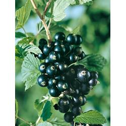 BCM Obstpflanze Jostabeere, 2 Pflanzen