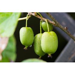 BCM Obstpflanze Kiwi arguta 'Issai' (zwittrig) Spar-Set, Lieferhöhe: ca. 60 cm, 3 Pflanzen