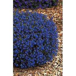 BCM Beetpflanze Lobelia Spar-Set