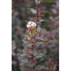 Fasanenspiere Little Joker -  Physocarpus opulifolius - 7.5 L Topf 60-80 cm