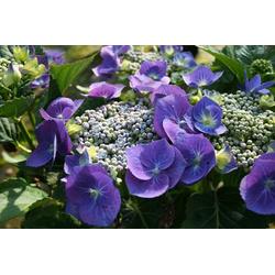 BCM Gehölze Hortensie Blaumeise, Höhe: 30-40 cm, 2 Pflanze