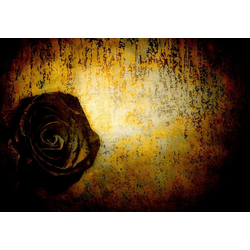 Consalnet Vliestapete Schwarze Rose, floral 3,68 m x 2,54 m