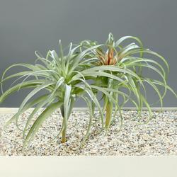 Kunstpflanze Tillandsia(H 26 cm)