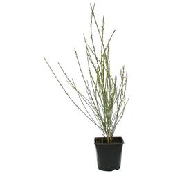 BCM Beetpflanze Ginster Spar-Set, Lieferhöhe ca. 40 cm, 2 Pflanzen