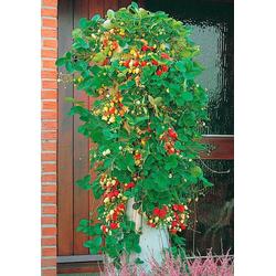 BCM Obstpflanze Erdbeerbaum