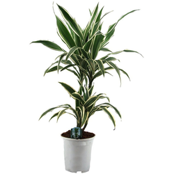 Dominik Zimmerpflanze Drazena, Höhe: 50 cm, 1 Pflanze
