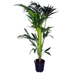 Dominik Zimmerpflanze Kentia-Palme, Höhe: 60 cm, 1 Pflanze