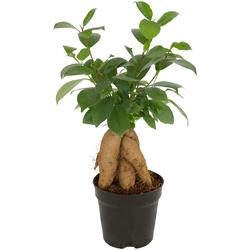 Dominik Zimmerpflanze Ginseng-Feige, Höhe: 15 cm, 1 Pflanze grün Pflanzen Garten Balkon