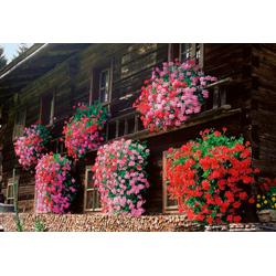 BCM Balkonpflanze Geranien-Jumbo-Pack