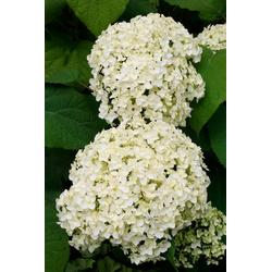 BCM Gehölze Hortensie Annabell, Höhe: 50-60 cm, 2 Pflanze
