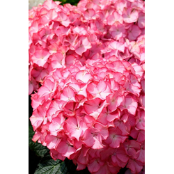 BCM Gehölze Hortensie Pink Annabell, Höhe: 50-60 cm, 1 Pflanze