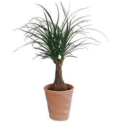 Dominik Zimmerpflanze Elefantenfuß, Höhe: 30 cm, 1 Pflanze im Dekotopf