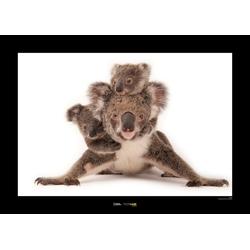 Komar Poster Koala, Tiere, Höhe: 40cm 50 cm x 40 cm