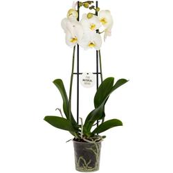 Dominik Zimmerpflanze Schmetterlingsorchidee, Höhe: 30 cm, 1 Pflanze