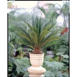 BCM Beetpflanze Palmfarn