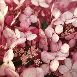 Waldhortensie Hydrangea arborescens Pink Annabelle (Proven Winners) - 12 L Topf 80-100 cm