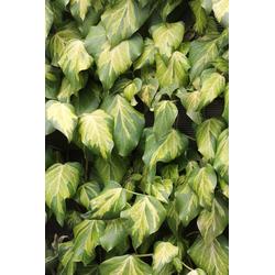BCM Kletterpflanze Efeu colchica 'Dentata Variegata', Lieferhöhe ca. 60 cm, 1 Pflanze