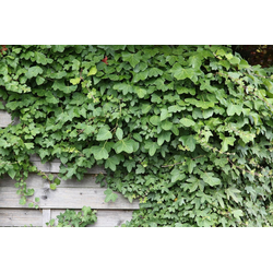 BCM Kletterpflanze Efeu helix, Lieferhöhe ca. 100 cm, 1 Pflanze