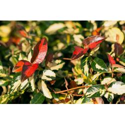 BCM Kletterpflanze Trachelospermum 'Ogon Nishiki' Spar-Set, Lieferhöhe ca. 60 cm, 3 Pflanzen
