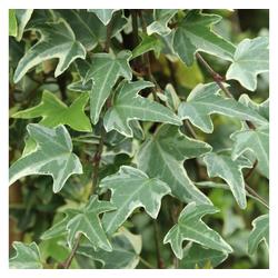 BCM Kletterpflanze Efeu helix 'Eva', Lieferhöhe ca. 60 cm, 1 Pflanze