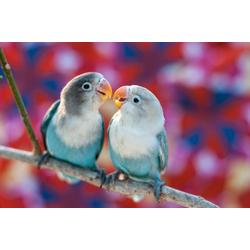 Papermoon Fototapete Love Birds, glatt 2,5 m x 1,86 m