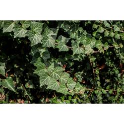 BCM Kletterpflanze Efeu colchica Spar-Set, Lieferhöhe ca. 60 cm, 2 Pflanzen