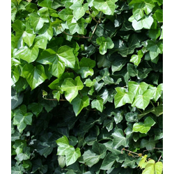 BCM Gehölze Großblättriger Efeu, 2 Pflanzen