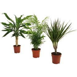 Dominik Zimmerpflanze Palmen-Set, Höhe: 30 cm, 3 Pflanzen