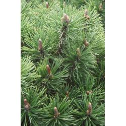 Kugel-Kiefer Mops - Pinus mugo Mops 7,5L Topf 30- 40 cm hoch