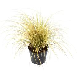 BCM Gräser Segge brunnea 'Camara' ® Spar-Set, Lieferhöhe: ca. 30 cm, 1 Pflanze