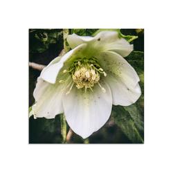 Artland Glasbild Lenzrose, Blumen (1 Stück) 50 cm x 50 cm x 1,1 cm