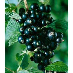 BCM Obstpflanze Johannisbeere Titania