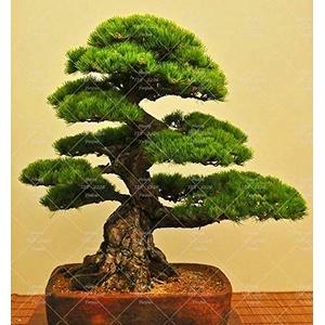 PlenTree 10PCS japanische Schwarzkiefer Bonsai-Baum Garten Innendekoration immergrün, stark Garten s